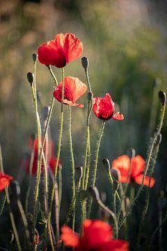 Rode klaprozen in het avondlicht / poppy papaver van KB Design & Photography (Karen Brouwer)
