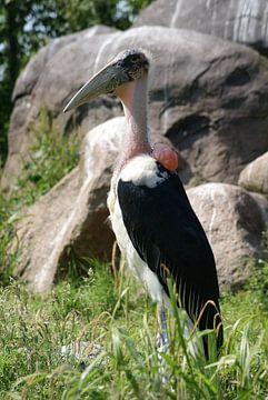 Afrikaanse maraboe van