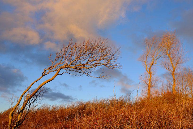 Windflüchter in der Abensonne von Ostsee Bilder