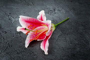 Lys rose sur Rick van der Poorten