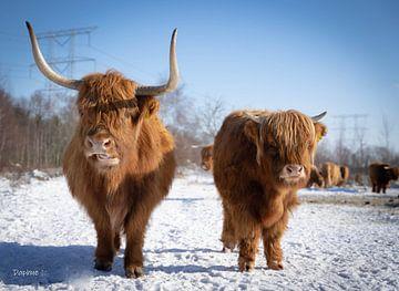 Schotse hooglanders van Daphne Jonkers