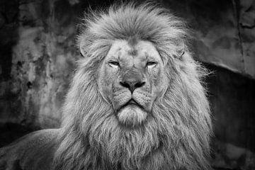 Männlicher Löwe in Schwarz-Weiß von Dennis Schaefer