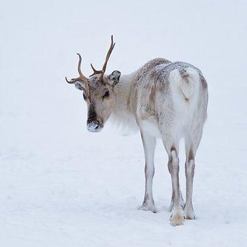 Rentier im Schnee von Denis Feiner