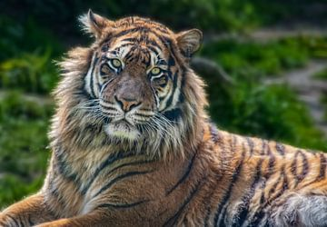 Sumatra-Tiger von Marcel van Balken