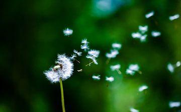 Pusteblume mit wegliegenden Samen auf einem dunklen Hintergrund von David Esser