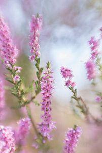 Heide in bloei van