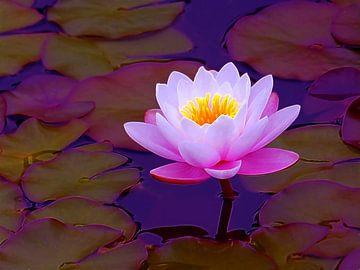 Roze Waterlelie van Caroline Lichthart