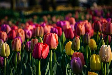 Tulpen Keukenhof von Ingrid de Vos - Boom