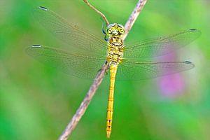Heide libelle van
