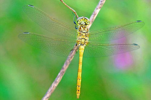 Heide libelle van Gabsor Fotografie