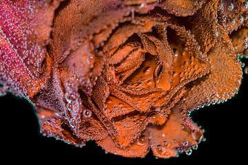 Rose orange et rose tendre sur Bernardine de Laat