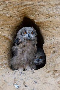 Eurasian Eagle Owls ( Bubo bubo ), chicks at their nesting burrow