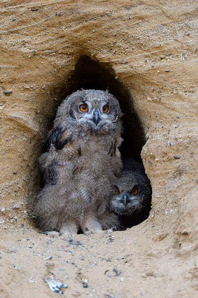 Eurasian Eagle Owls ( Bubo bubo ), chicks at their nesting burrow van wunderbare Erde