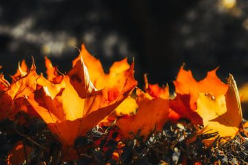 herfstvlammen van Dagmar Marina