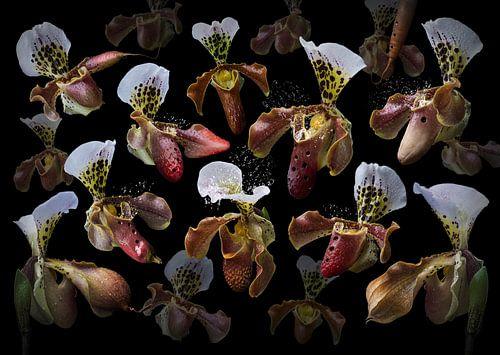Orchidea ocarina