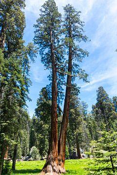 Die Giganten des Sequoia-Nationalparks in Amerika von Linda Schouw