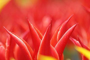 rood en gele tulpen van Leontien van der Willik-de Jonge