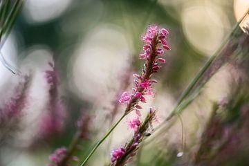 Persicaria orientalis von Tania Perneel