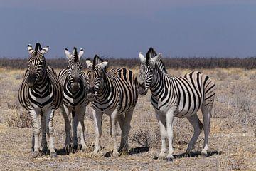 Zebra's - Etosha National Park von Eddy Kuipers