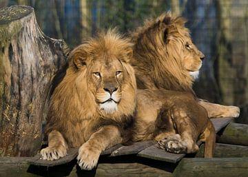 Lion sur Greetje van Son