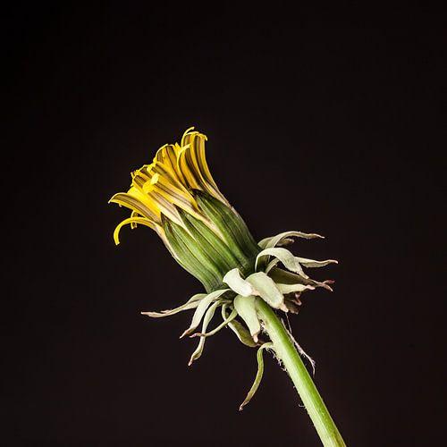 Uitkomende gele bloem paardenbloem