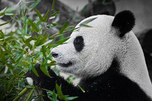 Een tevreden panda kijkt naar een sappige groene bamboetak in profiel van Michael Semenov