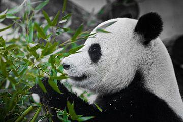 Ein zufriedener Panda schaut sich einen saftig grünen Bambuszweig im Profil an von Michael Semenov