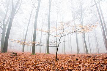 Eine junge Buche in einem alten Buchenwald von Danny Slijfer Natuurfotografie