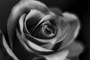 Rose von Desiree van den Burg