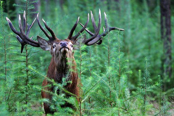 Hert portret in het groene bos van Gerjo Horsman