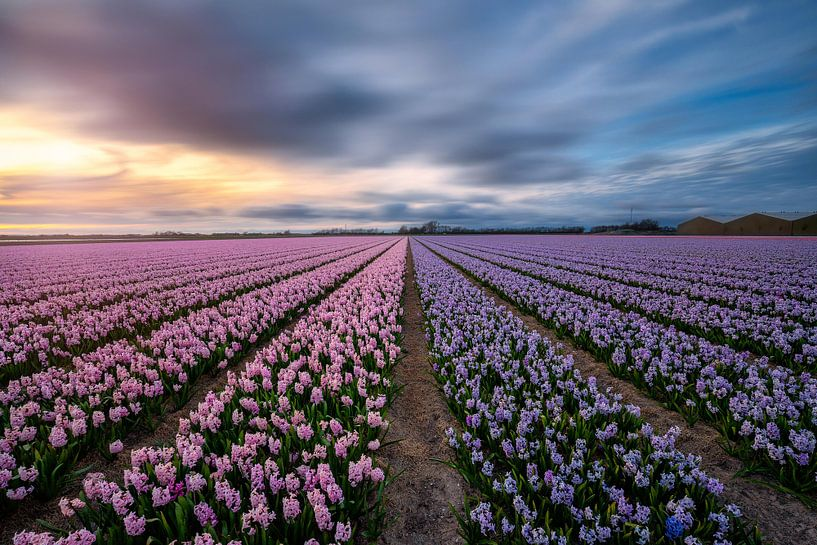 Nature's perfume the amazing Hyacinths von Costas Ganasos