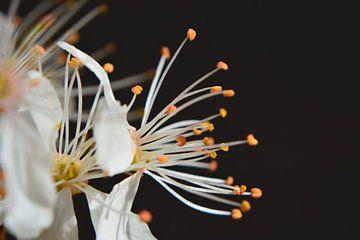 Blütenkirschbaum von Eveline De Brabandere