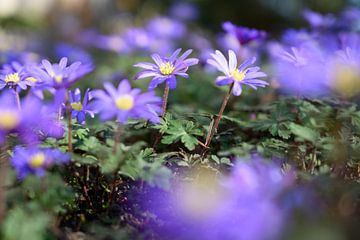 Voorjaarsbloeier in de zon van
