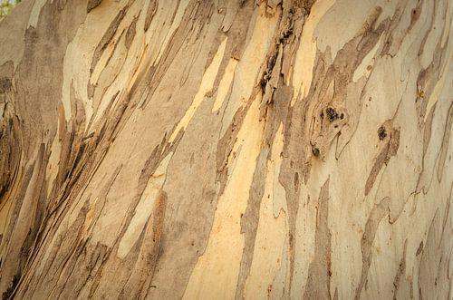 Eucalyptus boom