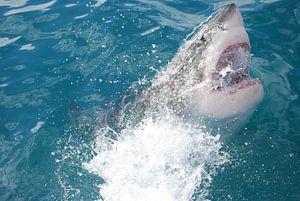 Witte haai van