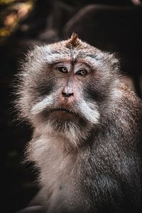 Balinesischer Affe