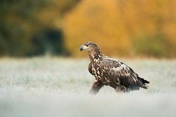 Seeadler ( Haliaeetus albicilla ), Jungvogel läuft über gefrorenen Boden von wunderbare Erde