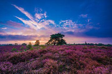 Paarse heideveld tijdens de zonsopkomst van Michel Knikker