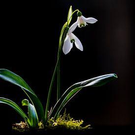Glänzender Schneeglöckchen, Galanthus woronowii von AGAMI Photo Agency