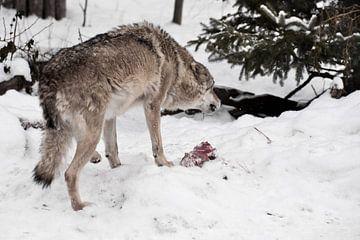 Boze en roofzuchtige wolf gromt en laat zijn tanden zien over een stuk vlees tussen de wintersneeuw  van Michael Semenov