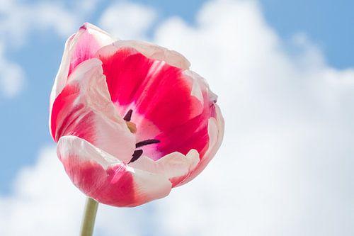 rood met witte tulp tegen wolkenlucht