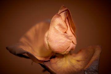 Gut situierte Rose mit einheitlichem Hintergrund von Jenco van Zalk