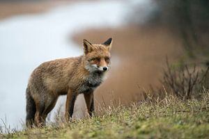 Fuchs ( Vulpes vulpes ) in seinem Revier, wildlife, Europa.