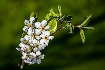 Blüzenzauber von Guenter Purin