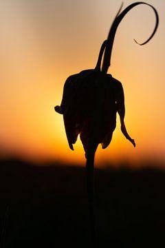 kievietbloem in avondzon von Jan Roelof Brinksma