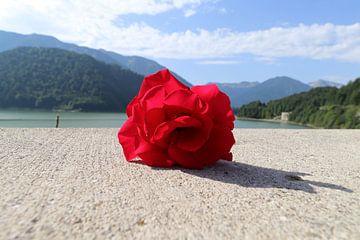 De eenzame Roos ... van Raymond Hofste