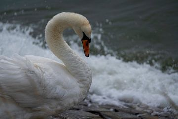 The Swan van Alice Berkien-van Mil