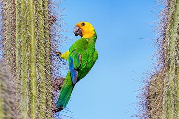Geelvleugel Amazone Papegaai hangt aan een cactus met blauwe lucht als achtergrond van Ben Schonewille