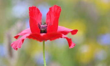 Klaproos in een wild bloemenveld van Jessica Berendsen