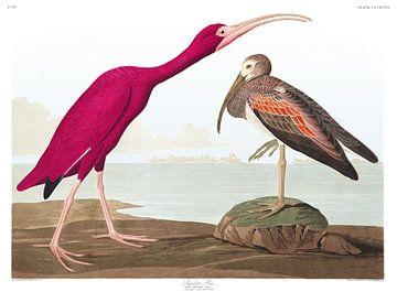 Ibis rouge sur